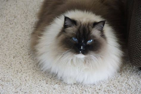 ragdoll cats ragdoll cats with blazes pictures of ragdoll cats with blazes