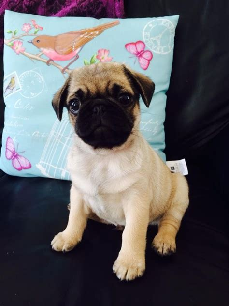 pugs for sale hull 9 week pug for sale hull east of pets4homes