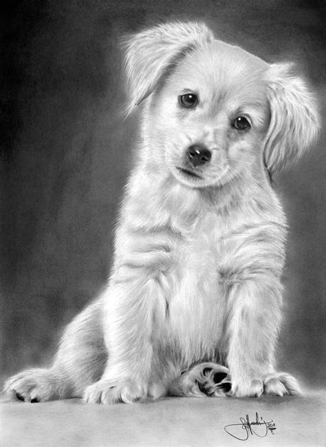 drawing of a golden retriever golden retriever puppy drawing by whizziewhizzer