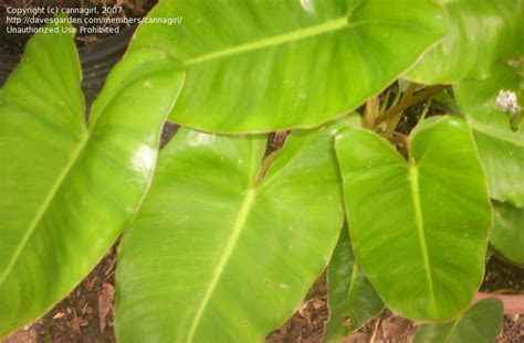 plantfiles pictures philodendron burle marx philodendron by cannagirl