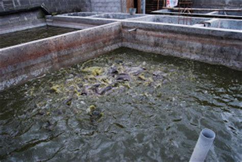 Harga Bibit Ikan Nila Di Riau budidaya ikan lele phyton sangkuriang galeri foto
