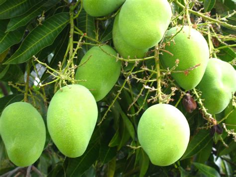 forestry learning mango tree is an excellent source of - Mango Tree With Fruits
