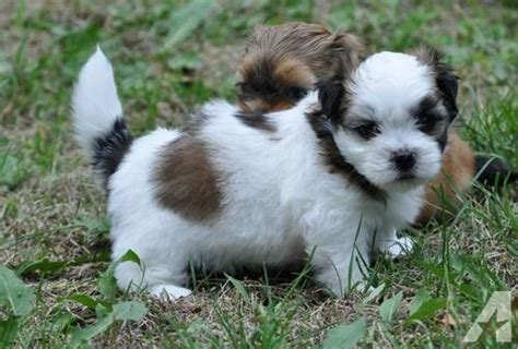 shih tzu rescue indiana shih tzu puppies for adoption to homes for sale in big lake indiana