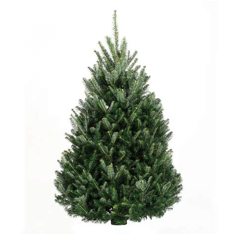 9 10 fraser fir trees trees products