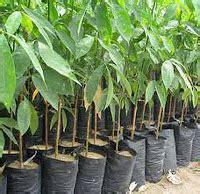 Alat Pengukur Ph Yang Paling Akurat cara budidaya tanaman karet untuk petani kecil toko