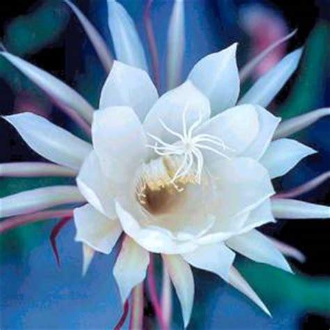 fiore di notte la della notte quindi i fiori seguono l orologio
