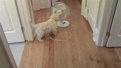 golden retriever temperament test mvi 01841 golden retriever temperament test phoebe and ivan puppy 2 inside