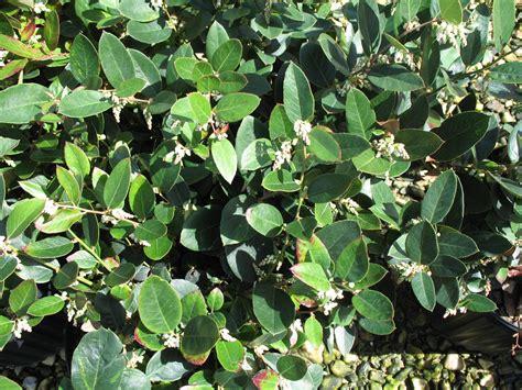 online plant guide leucothoe axillaris margie jenkins