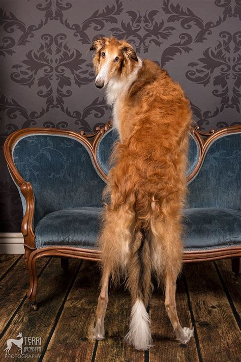 sighthounds on sofas 1130 best images about sighthounds on pinterest