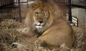 michael che hunting images show rescued circus lion that was so badly abused