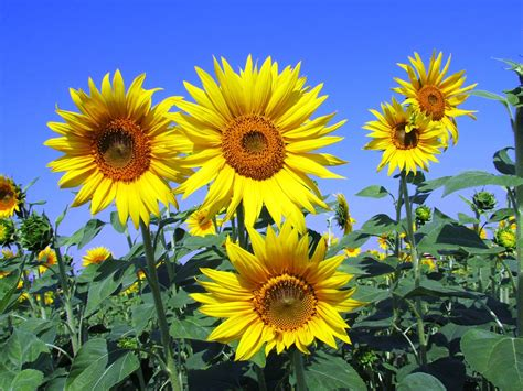 Picture Of Flowers In Vase Free Photo Sunflowers Sunflower Yellow Free Image On