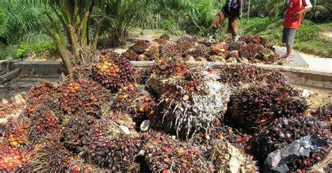 Minyak Kelapa Sawit Di Indonesia manfaat kelapa sawit kelapa sawit