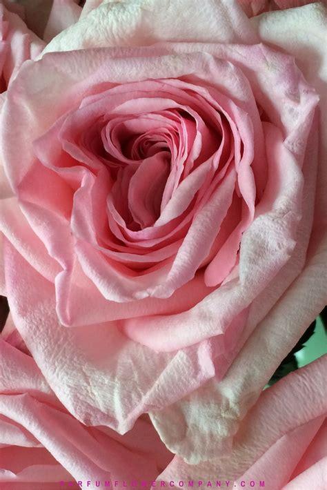 Pink O premium scented garden pink o hara