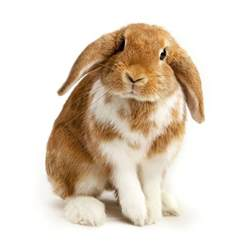a guide to lop eared rabbits and care