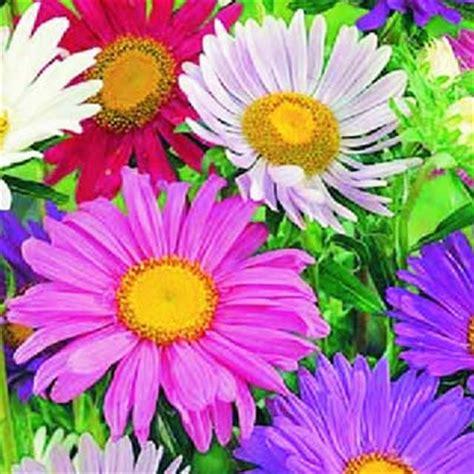 fiore astro giardino fiori astro semplice bavicchi