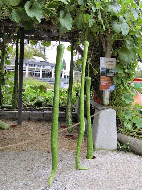 vasi giganti tykvovit 237 giganti ve va蝪 237 zahrad茆 d蟇m a byt