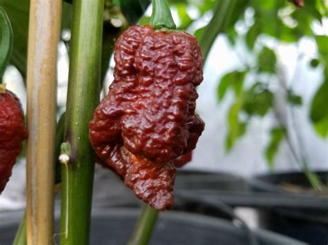 Benih Seed Biji Borg 9 Choco borg 9 chocolate chilli seeds