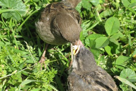 10 000 birds fledgling house sparrow getting fed