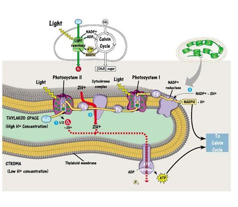 Light Reactions Of Photosynthesis by Photosynthesis Light Reaction Simple Diagram