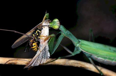 imagenes de langostas negras wespe attackiert gottesanbeterin mantis religiosa