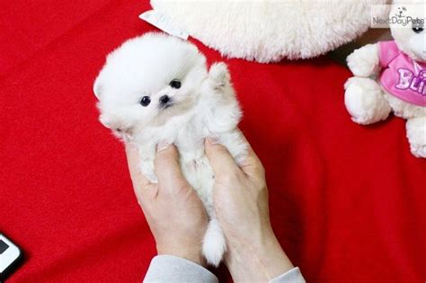 white micro teacup pomeranian for sale best 25 teacup pomeranian puppy ideas on pomeranians pomeranian puppy