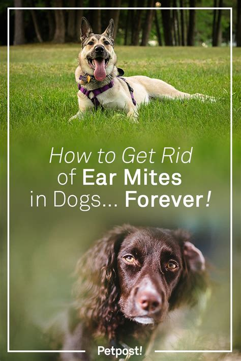 how to get rid of ear mites in dogs petpost news information for happy dogs petpost