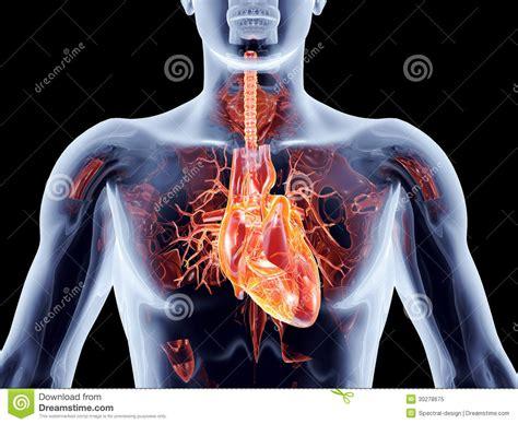 innere organe mann innere organe herz lizenzfreies stockfoto bild 30278675