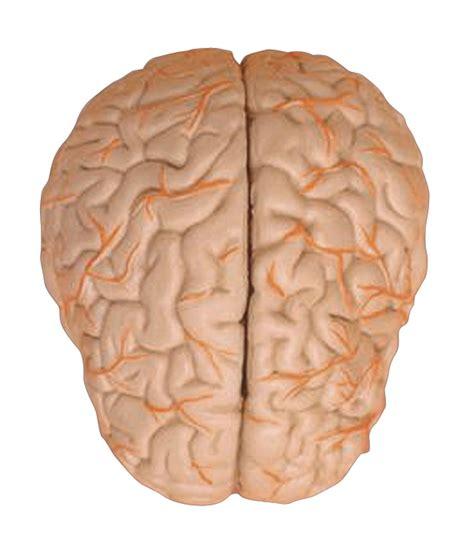 imagenes reales cerebro humano aparato reproductor femenino junio 2010