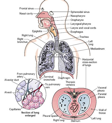 the respiratory system diagram standard note human respiratory system