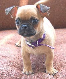 pugs and chihuahuas mix pug chihuahua chug pug mixed breeds chugs
