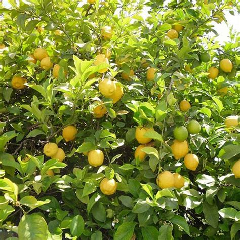 Bibit Buah Jeruk Lemon jual bibit buah jeruk lemon amerika murah agro bibit id