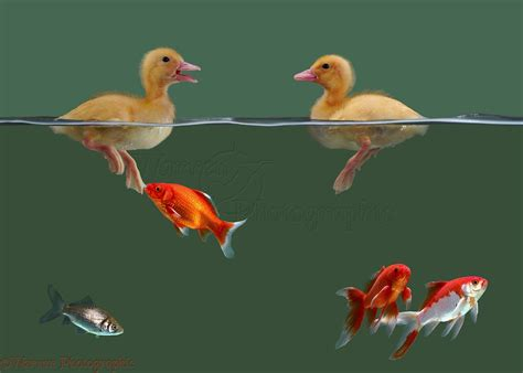 ducklings goldfish photo wp05169