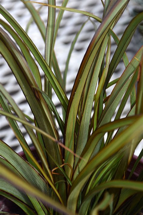 tom thumb  zealand flax phormium tenax tom thumb