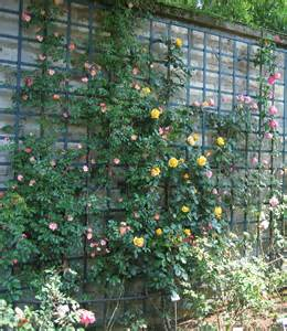climbing roses trellis trellis the journal