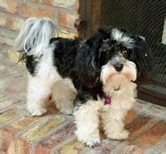havanese rescue az 1000 images about adoptable dogs mostly havanese on