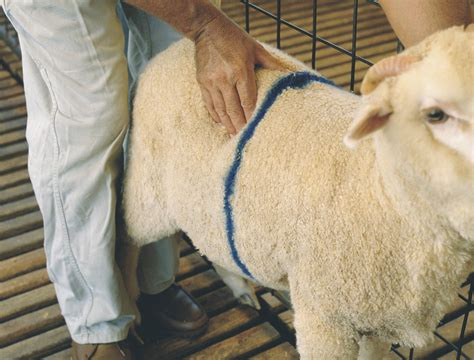condition score condition scoring of sheep agriculture and food