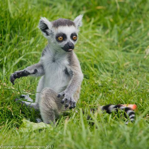 baby lemur baby lemur