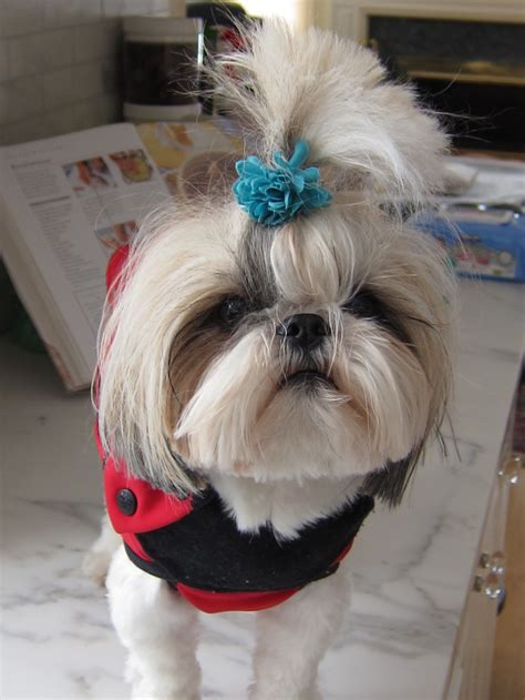 shih tzu hair bows 1000 images about more on shih tzus on pets puppies and bows