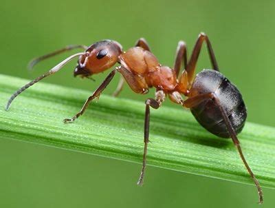imagenes de la vida de las hormigas 191 como se reproducen las hormigas queanimal com