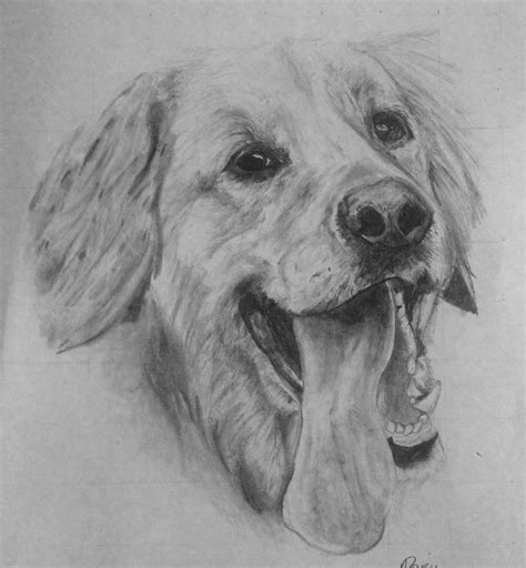 drawing of a golden retriever golden retriever time lapse drawing