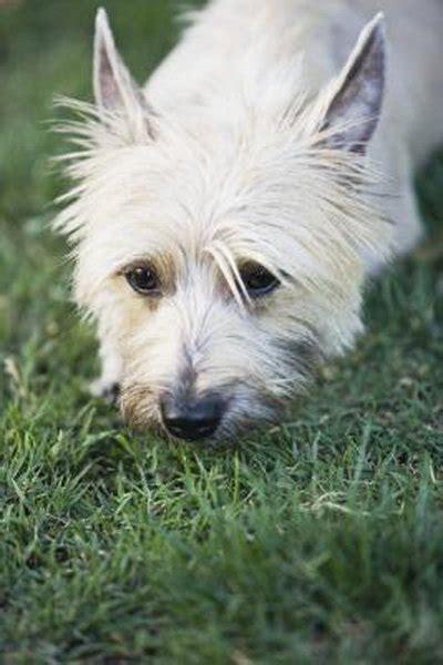 brush  cairn terrier pets