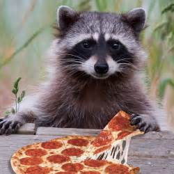 we all eat pizza raccoons eat pizza raccoons are noted