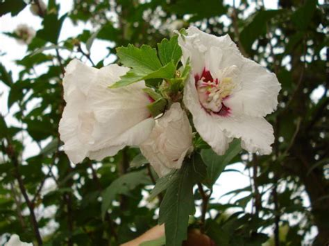 sognare fiori bianchi fiori bianchi grandi stratfordseattle