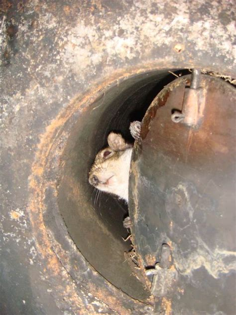 Squirrel Trapped In Fireplace by Squirrel Infestation Squirrel Removal Batguys Wildlife