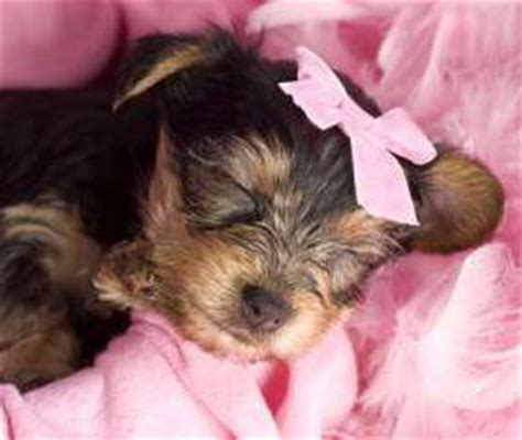 newborn yorkie puppies newborn yorkies terrier information center