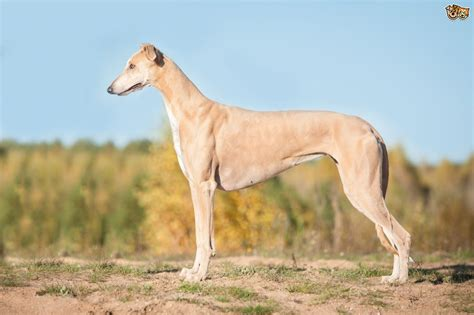 What type of sighthound is right for you?   Pets4Homes