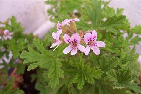 piante antizanzare da giardino piante antizanzare giardinaggio