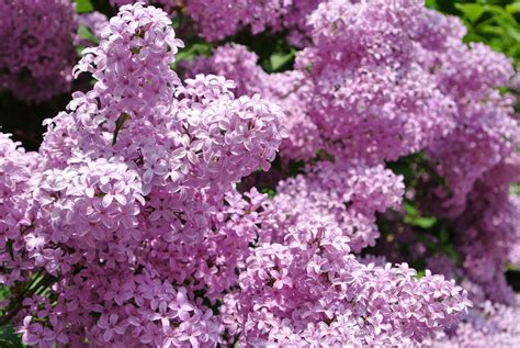 beauty of the bloom with intoxicating scent the lilac