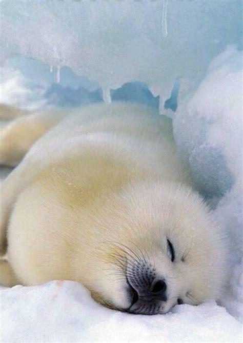 baby seal pup harp seal pup resting animals nap times
