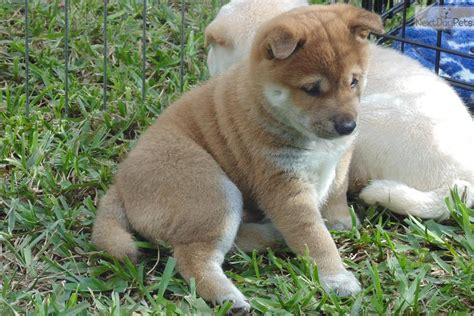 shiba inu puppies florida shiba inu puppy for sale near south florida florida b96a5adb dc91